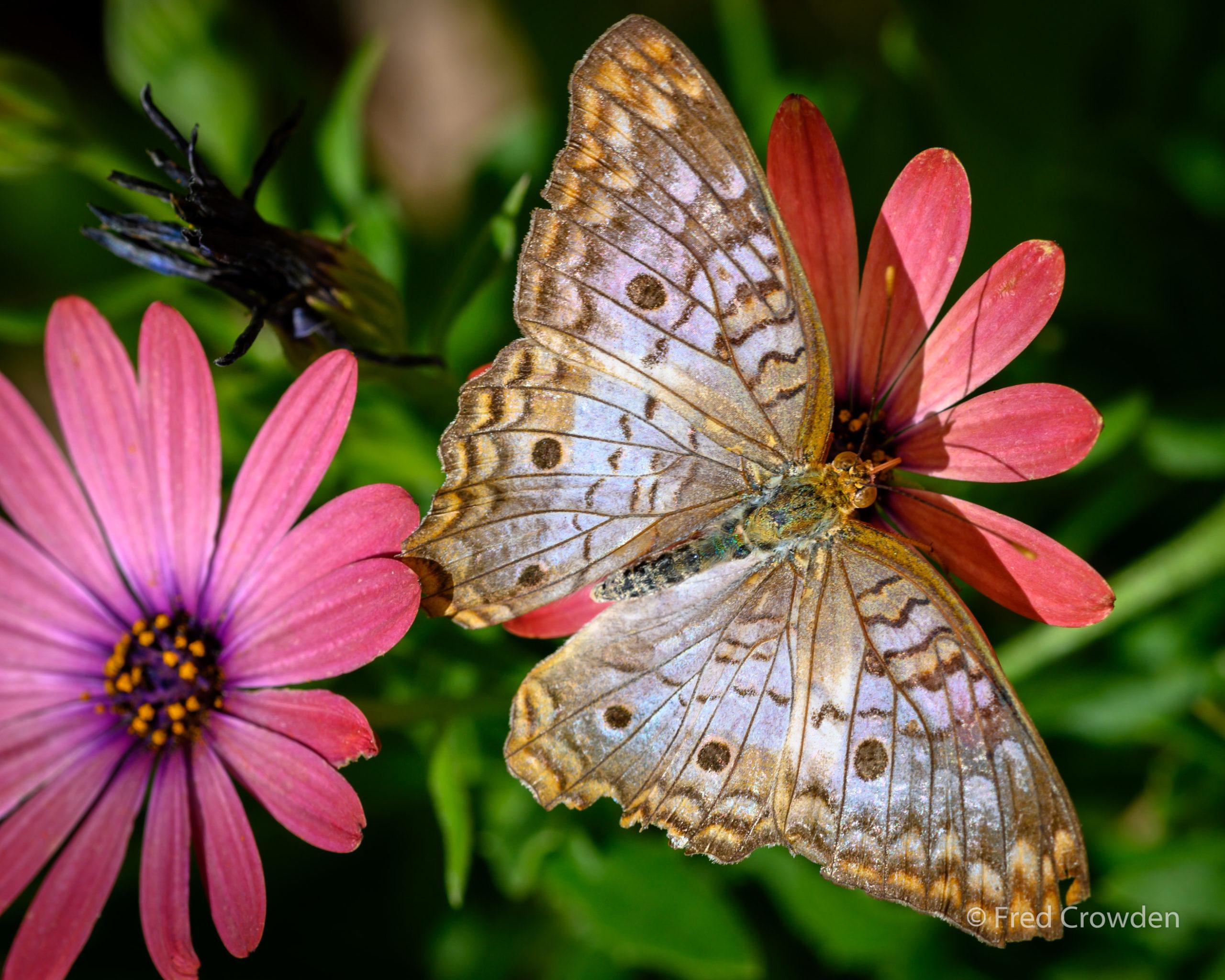2019 04 17 DBG Butterflies 9663 Big