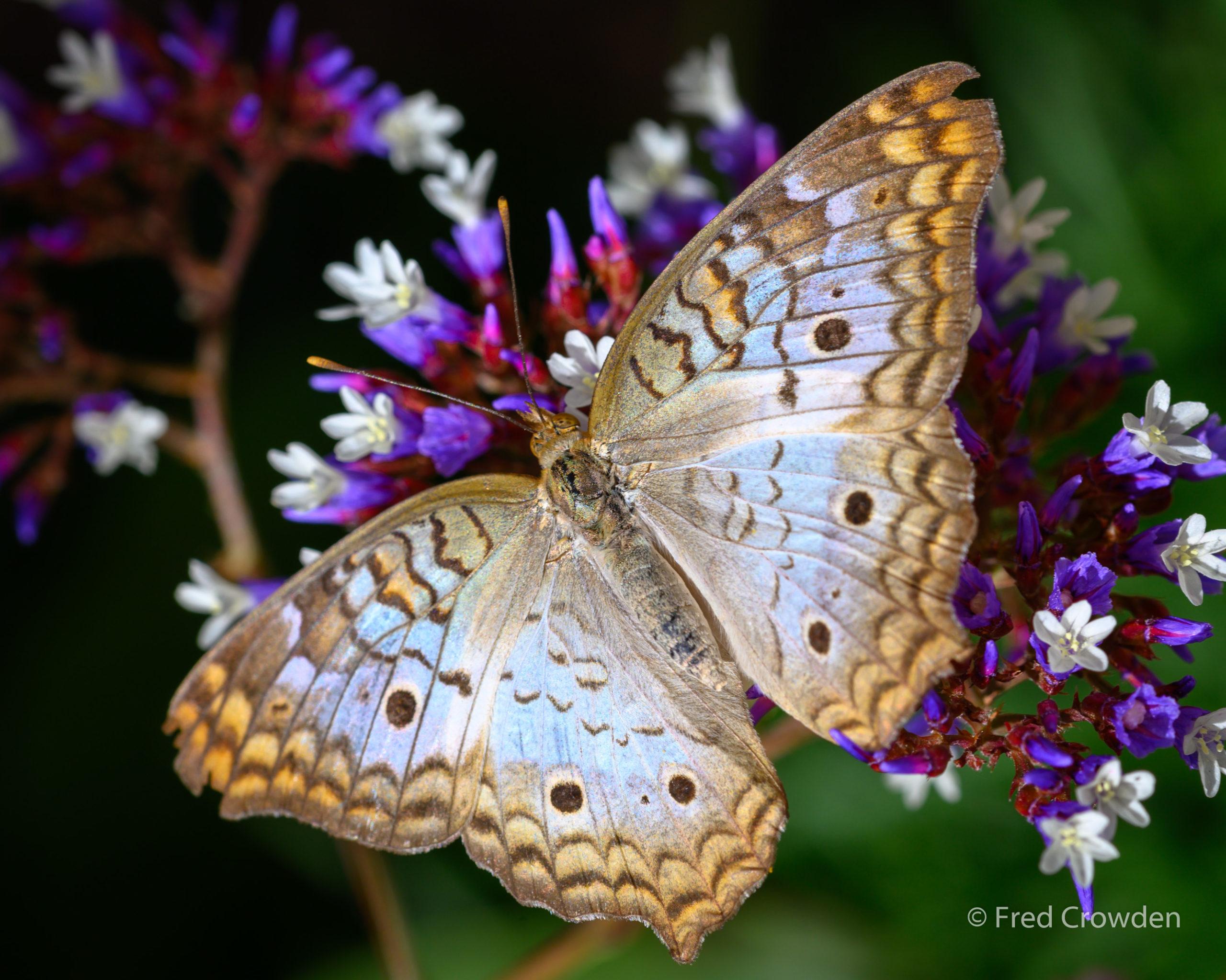 2019 04 17 DBG Butterflies 9703 Big