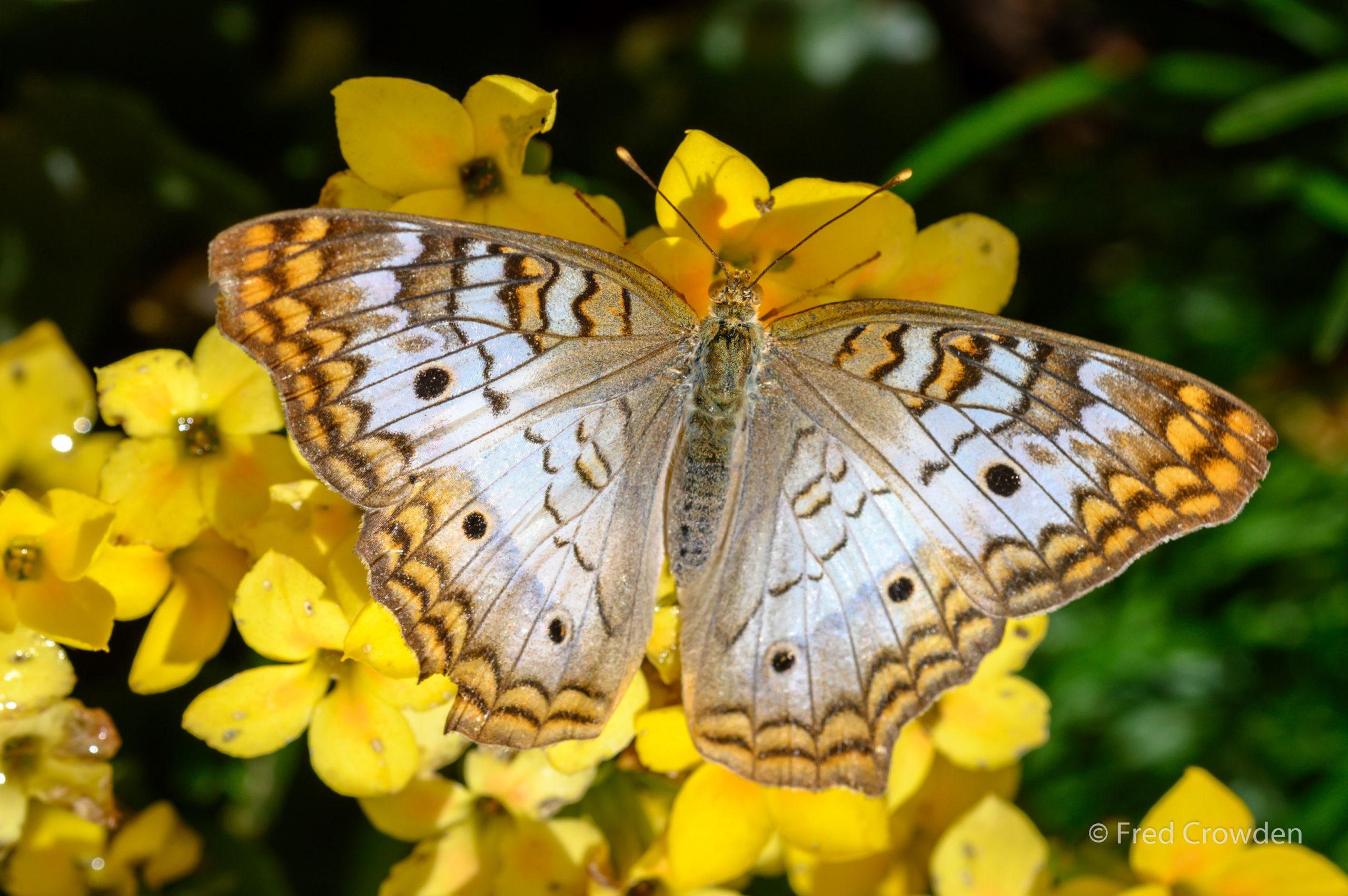 2019 04 17 DBG Butterflies 9712 Big